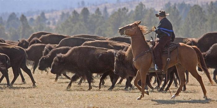 """Was dem Allgäuer der """"Viehscheid"""", ist dem Cowboy von South Dakota der """"Buffalo Round Up"""". (c) travelsouthdakota.com"""
